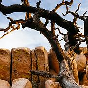 Juniper tree among rocks, Joshua Tree National Park, California.