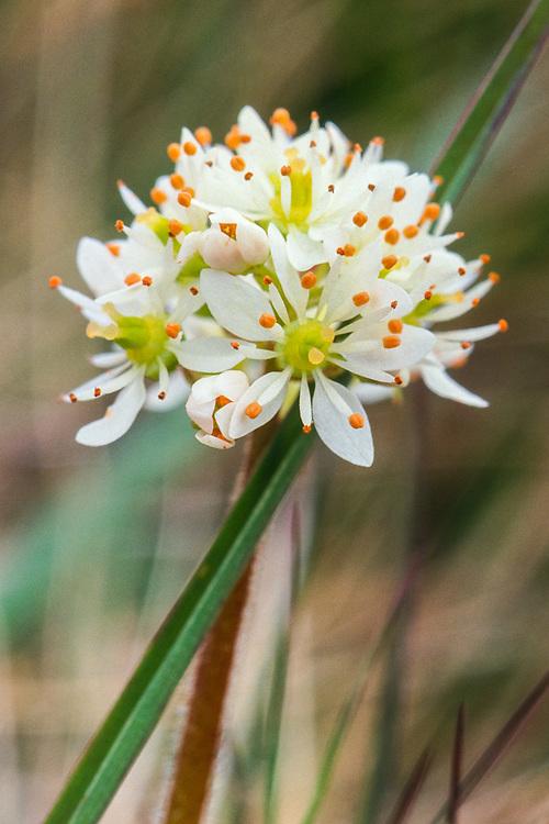 Saxifrage (Saxifrage spp.), Chukotsk Peninnsula, NE Russia