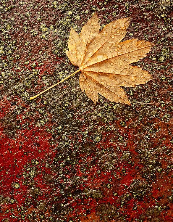 Vine maple leaf, Ricksecker Canyon, Autumn, Mount Rainier National Park, Washington, USA