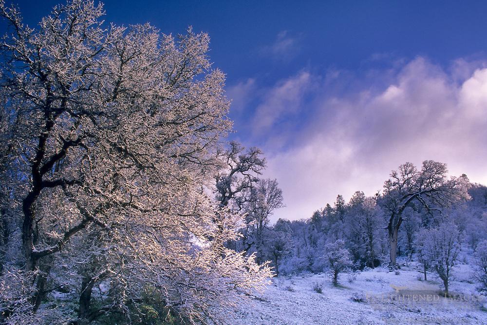 Unusually low-altitude snowfall dusts oak forest during El Niño winter, Cedar Mountain Ridge, Alameda County