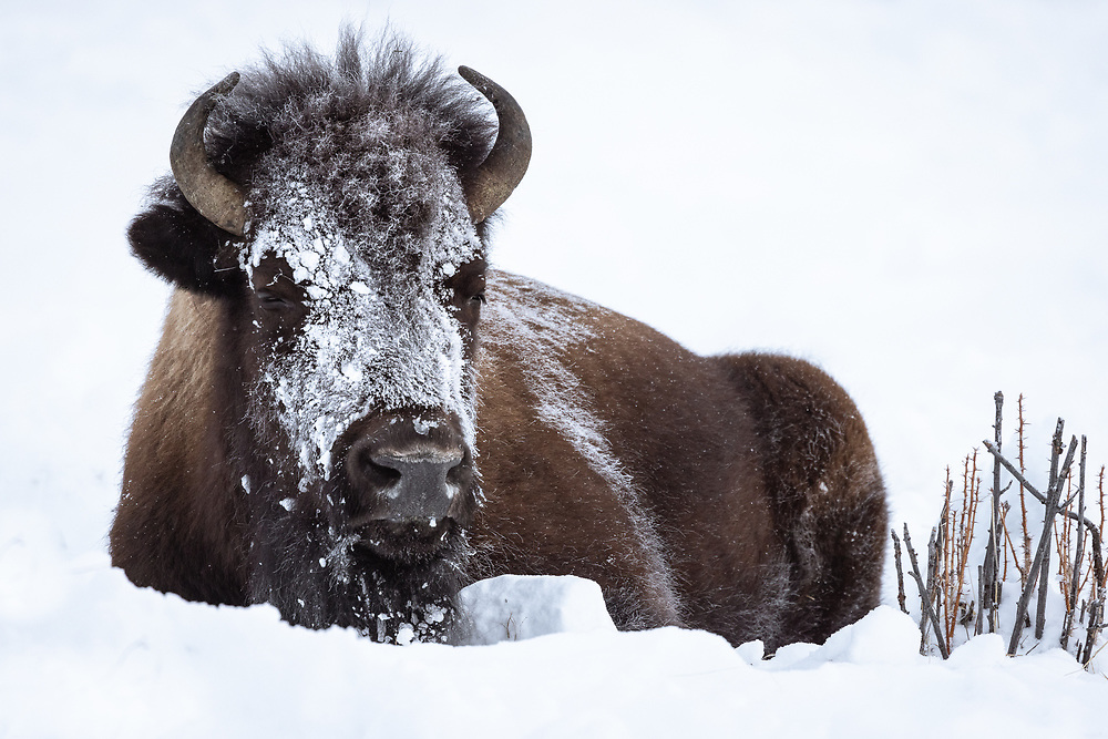 Bison bison, Yellowstone NP, February 2021