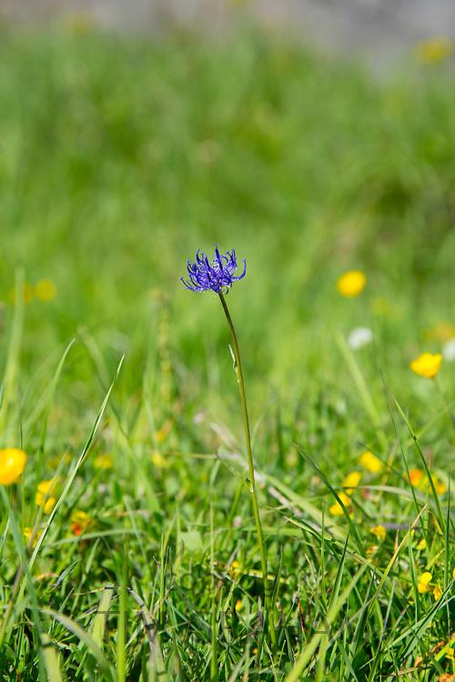 Alpine cornflower wildflower in meadow below the Swiss Alps near Zermatt, Switzerland