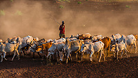 Dassanach tribe man herding cattle, Omo Valley, Ethiopia.