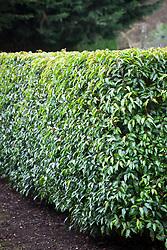 Hedge of Prunus lusitanica - Portuguese laurel