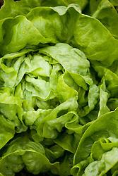 Butterhead Lettuce 'Larissa'