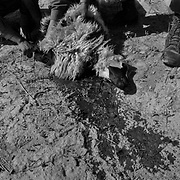 Afghan Police (ANP) kill a sheep by cutting it's throat the night before an operation in the Adamzai and Khenjakak area of Panjway (aka Pajwaii) in a rural area on the outer rim of Kandahar City, Afghanistan. Lamb is a delicacy in Afghanistan and very expensive for the avergae Afghan.