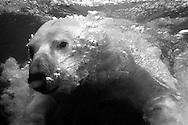 Deutschland, DEU, Stuttgart, 2000: Ein tauchender Eisbär (Ursus maritimus) atmet aus, Luftblasen steigen an die Wasseroberfläche, Tierpark Wilhelma. | Germany, DEU, Stuttgart, 2000: Polar bear, Ursus maritimus, diving down, breething out air-bubbles, Tierpark Wilhelma, Stuttgart. |