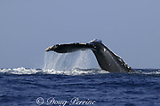 humpback whale, Megaptera novaeangliae, inverted tail slap, hemispherical lobe (present only in females) visible at waterline, Kona, Hawaii, USA, caption must note photo was taken under NMFS research permit #587
