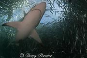 copper shark or bronze whaler shark, Carcharhinus brachyurus, swims through school of sardines off east coast of South Africa during Sardine Run