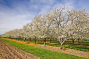 apple orchard in blossom<br /> Ste Catharines<br /> Ontario<br /> Canada