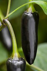 Chilli 'Black Hungarian'