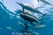Hawaiian spinner dolphins or Gray's spinner dolphin<br /> ( Stenella longirostris longirostris ) mating<br /> Kona - Hawaii ( Big Island ) Hawaiian Islands<br /> ( Central Pacific Ocean )