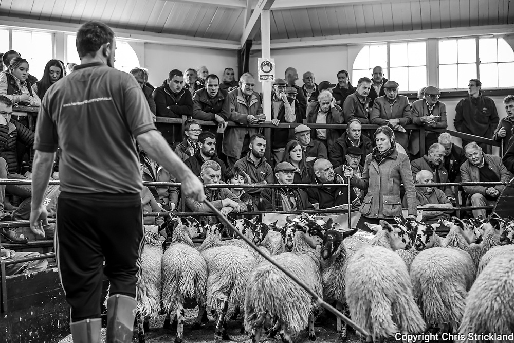 Lazonby, Penrith, Cumbria, England, UK. 29th September 2021. The annual Alston Moor Sale, in which 16,505 mule gimmer lambs were auctioned, the largest one day sale of hill breeds in the North of England, at Lazonby Mart in Cumbria. The British sheep trade was healthy in 2021.