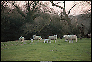 Sheep, Whydown, Bexhill-on-Sea. 9 March 2014.