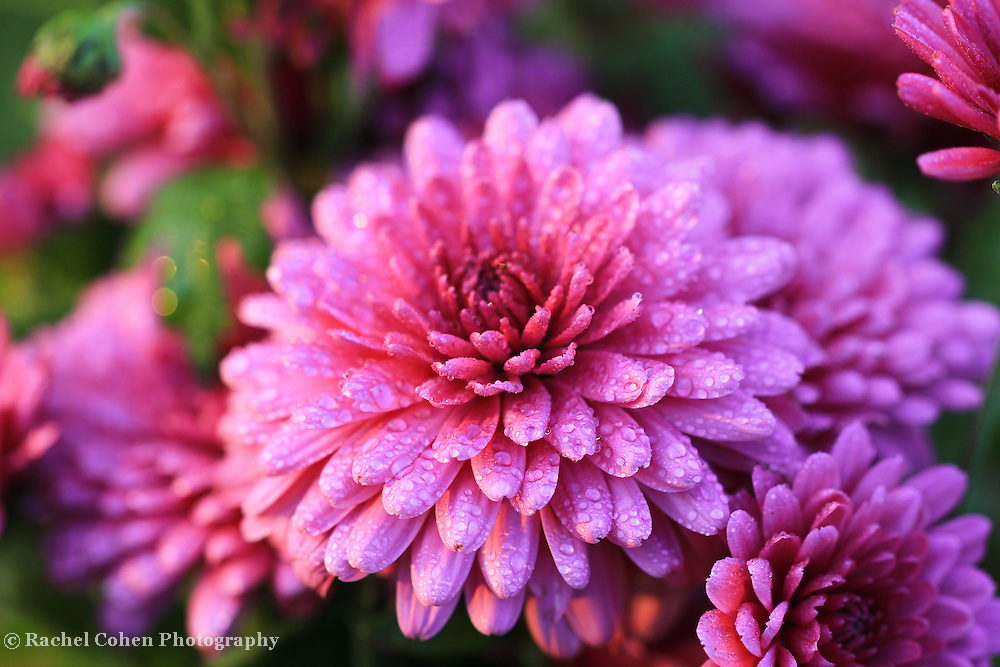 """""""Delightful Purple Mums""""<br /> <br /> Lovely purple Mums with raindrops! <br /> <br /> Flowers and Wildflowers by Rachel Cohen"""