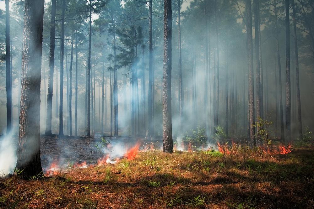 Prescribed burn, longleaf pine restoration