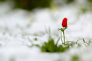 Anemone coronaria AKA Spanish marigold or Kalanit (in Hebrew) in the snow. Photographed in Israel in the winter