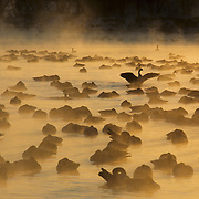 Canada Goose (Branta canadensis). An early morning sunrise casts mist over geese on a frigid lake during the winter. Wisconsin