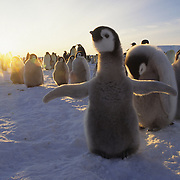 Emperor Penguin chicks in a rookery at Atka Bay during sunset. Antarctica