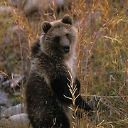 Grizzly Bear, (Ursus horribilis) Cub standing up. Fall. Southwest Montana. Captive Animal.