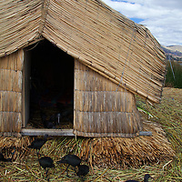 South America, Peru, Uros Islands. Domesticated birds of the floating reed islands of Lake Titicaca.