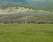 Horses grazing in a pasture in Sanpete County, Utah