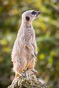 Meerkat, Suricata suricatta in the Cotswold Wildlife Park, Oxfordshire, UK