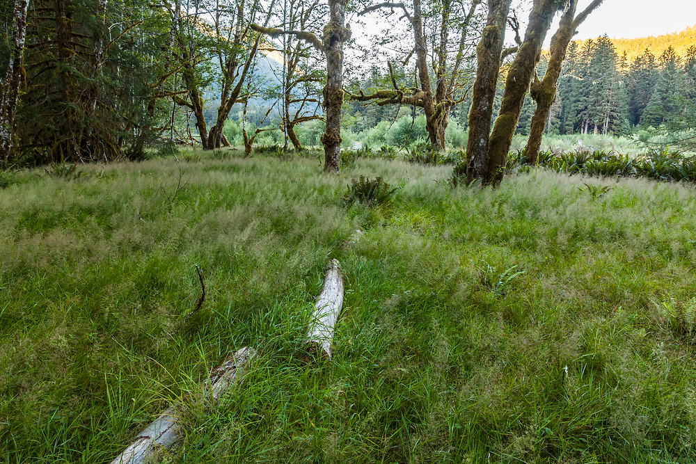 A grassy clearing along the Hoh rover, Hoh Rain Forest, Olympic National Park, Washington State, USA.