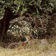 Cheetah, (Acinonyx jubatus) Cubs playing together in shade. Masai Mara Game Reserve. Kenya. Africa.