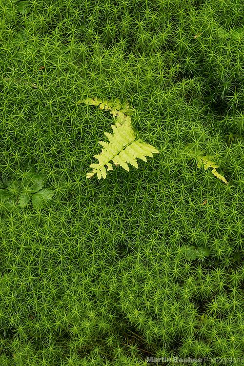 Fern and moss on forest floor, Chugach National Forest, Alaska