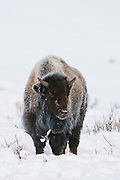 Bison or american buffalo (Bison bison)
