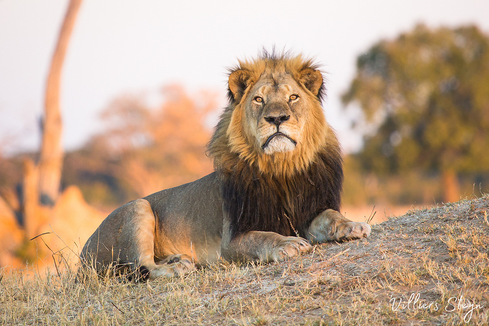 A massive male lion staring straight into the camera with large orange eyes.