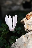 Cretan Sowbread (Cyclamen creticum), Katharo, Crete