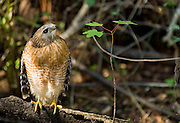 Wild, non-captive, non-habituated Red-shouldered Hawk (Buteo lineatus) in the Fakahatchee Strand in the Florida Everglades.