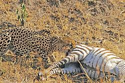 Cheetah Eating Dead Zebra