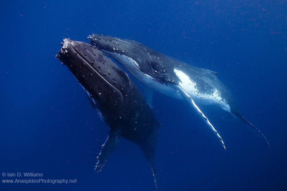 A humpback whale (Megaptera novaeangliae) slowly approaches the photographer in the Kingdom of Tonga