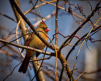 Inquisitive female Northern Cardinal perched in a sunny tree in my backyard. Winter nature in New Jersey. Image taken with a Nikon D2xs camera and 80-400 mm VR lens (ISO 400, 400 mm, f/5.6, 1/1000 sec).