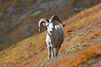 Dall Sheep ram in Kluane National Park, Yukon, Canada