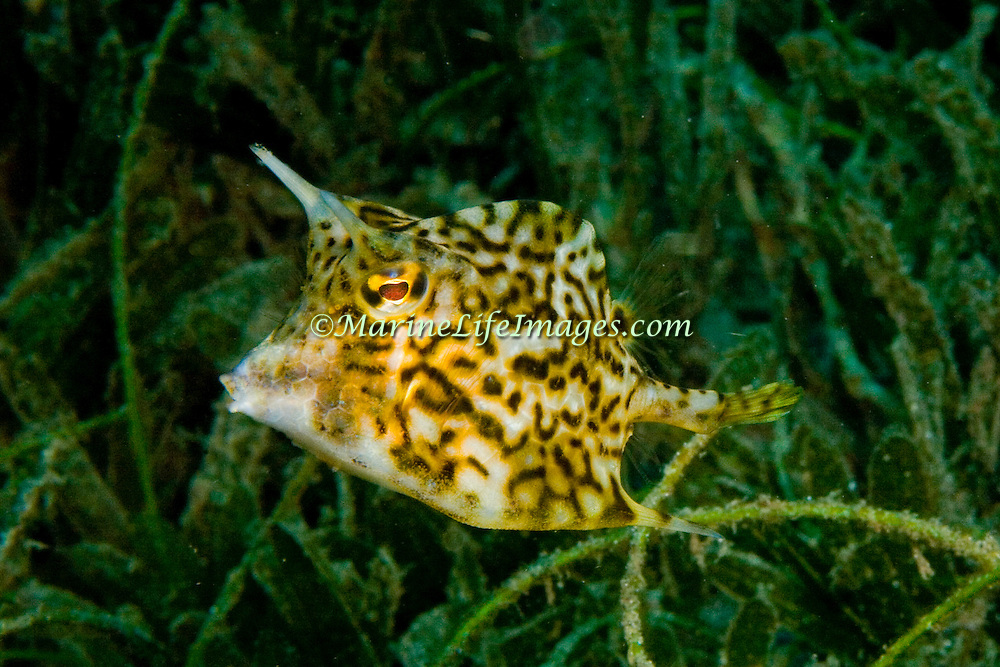 Scrawled Cowfish swim about a wide range of habitats from reefs to walls to sea grass beds in Tropical West Atlantic; picture taken St. Vincent.