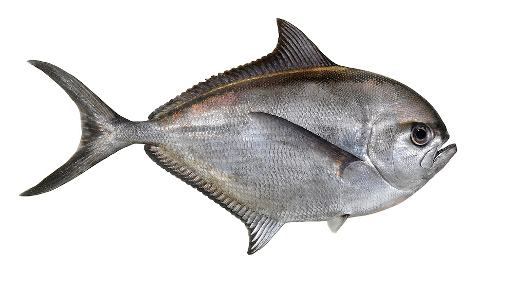 Ray's Bream Brama brama Length to 70cm<br /> An unmistakable laterally-compressed, deep-bodied fish. The head and eyes are proportionately very large. Overall, the fish is silvery-metallic in appearance, with a maroon/bronze sheen to the dorsal surface. This warm water species follows the Gulf Stream north in summer, retreating south in autumn; those that head south into the North Sea invariably end up dying and can be found on the north Norfolk coast in early winter.