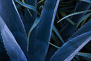 A blue Maguey (Agave americana) cactus, or Century Plant, grows on the Stanford campus in California.