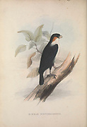 Philippine Falconet (Microhierax erythrogenys syn Hierax erythrogenys) from Zoologia typica; or, Figures of new and rare animals and birds described in the proceedings, or exhibited in the collections of the Zoological Society of London. By Fraser, Louis. Zoological Society of London. Published London, March 1847
