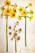 17th century watercolor painting of a Narcissus tazetta (paperwhite, bunch-flowered narcissus, bunch-flowered daffodil) from Livre des Tulipes (Book of Tulips) by Nicolas Robert c. 1650
