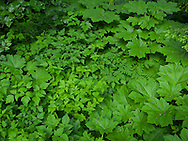 the color green dominates this image of Devil's Club (Oplopanax horridus) and Salmonberry (Rubus spectabilis) leaves with a splash of Western Hemlock needles in the Tahoma State Forest in Washington state's Cascade Mountain Range.