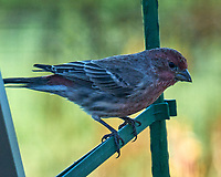 House Finch. Image taken with a Leica SL2 camera and Sigma 150-600 mm sport lens.
