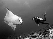 Giant manta ray (Manta birostris) in close proximity to a female diver