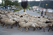 Sheep being herded through the agricultural town of Zafarraya, Granada Province, Spain. This rural community is dependent on agriculture, and struggling because of low prices. The sheep are herded from field to field to help farmers clear their fields.