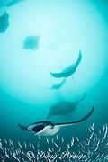 manta rays, Manta alfredi (formerly Manta birostris ), feeding on plankton among silversides that are also feeding on the plankton, Hanifaru Bay, Baa Atoll, Maldives ( Indian Ocean ) (de)