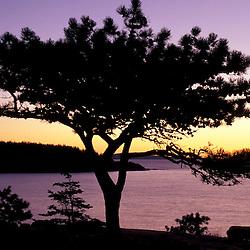 Acadia National Park, ME..Pitch Pine, pinus rigida. Ocean drive at sunrise.