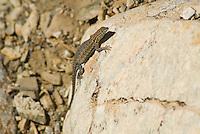 Side-blotched lizard, Uta stansburiana, female.  Wildrose Canyon, Death Valley National Park, California